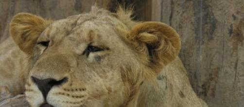 Leão do Zoológico de Luján, na Argentina