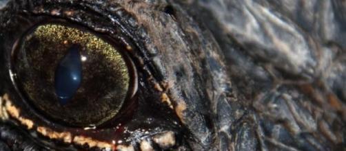 Leyenda: un cocodrilo acecha desde las cloacas