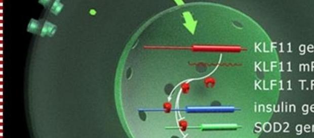 El gen KLF11 encargado de transformar las grasas