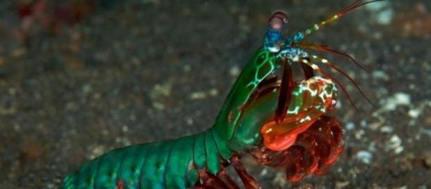 Odontodactylus scyllarus vista lateral do corpo