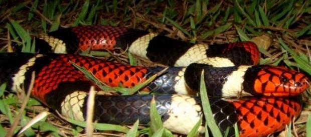 Foto de cobra coral falsa