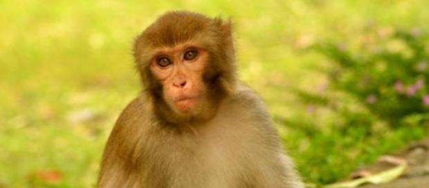 Macaco salvou um indivíduo da mesma espécie
