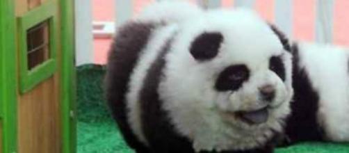 Il fantomatico Panda del circo
