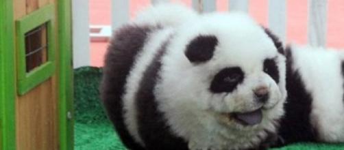 Perro chow chow teñido como un oso panda.