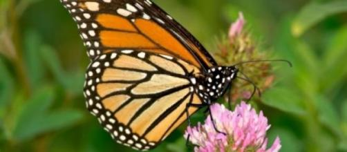 Conheça a borboleta monarca