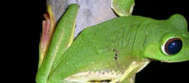 Una extraña especie de rana arborícola