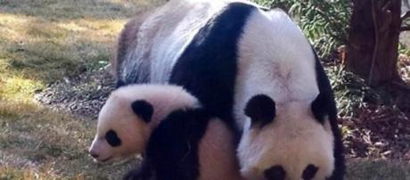 Tiernamente juntas la mamá y la hija panda
