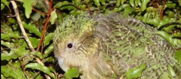 La extraña ave Kakapo de Nueva Zelanda