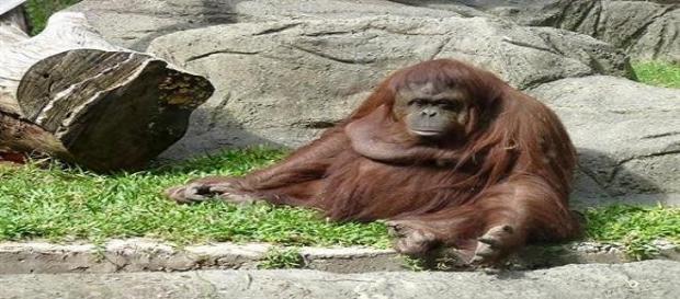 La Orangután Sandra espera que se le haga justicia