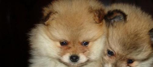 Pomerania, los perros más populares de la red