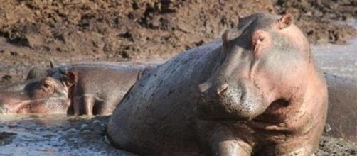 Ippopotamo muore durante fuga da circo