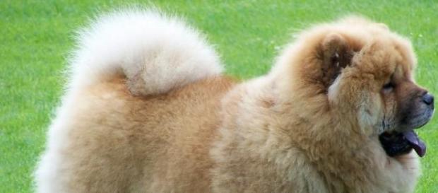 Os cães eram de raça chow chow.
