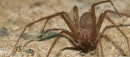 Araña ermitaña mata a un niño de 5 años