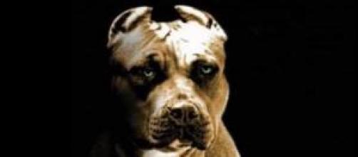 Nunca olhe nos olhos de um Pitbull