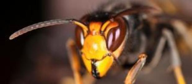 30 vespas conseguem matar 30 mil abelhas