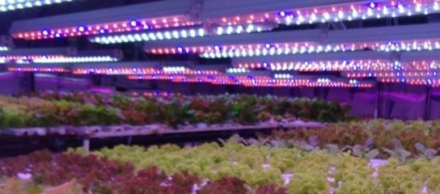 Cultivo de lechugas con iluminación LED