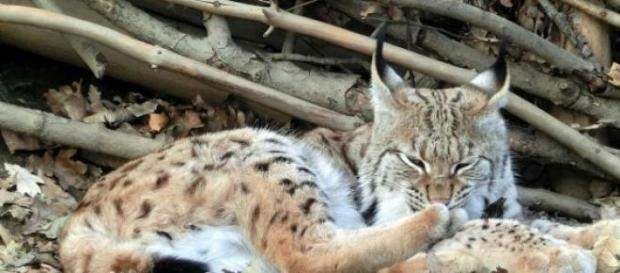 O Lince Ibérico é um dos animais em perigo.