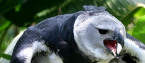 Conheça essa ave encantadora: a Harpia