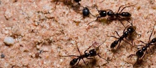Grupo organizado y coordinado de hormigas