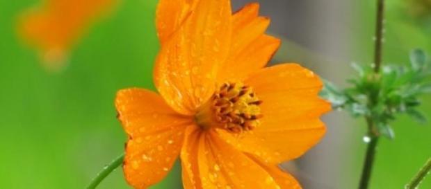 El olor de la flor depende de hongos y bacterias