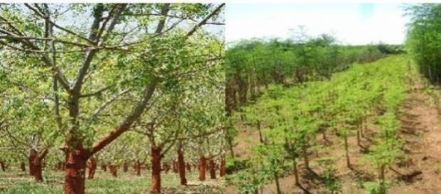 Plantaciones del arbol de la Moringa