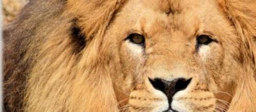 Entra nella gabbia dei leoni e viene sbranato