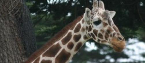 giraffa Marius uccisa nello zoo di Copenhagen