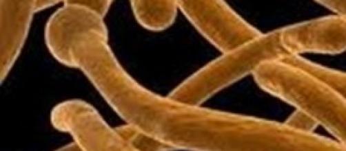 immagine al microscopio dei funghi della candida