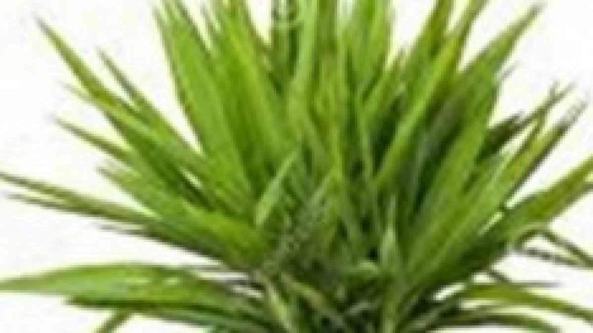 Pianta Tronchetto Della Felicità Potatura yucca aloefolia o comunemete chiamato tronchetto della felicità