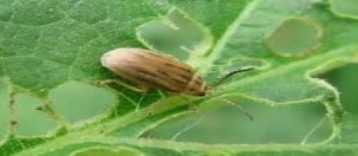 L'Ophraella Communa contro le allergie ai pollini