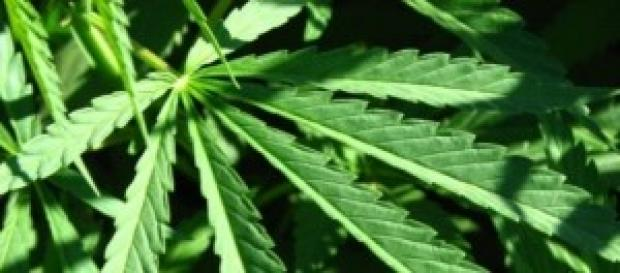 via libera all'uso terapeutico della cannabis