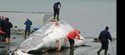 Caccia di balene in Islanda
