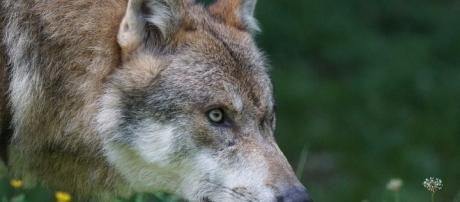 Illustration d'un loup en forêt