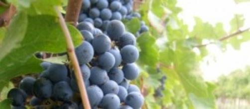 un grappolo di uva pronto per la vendemmia