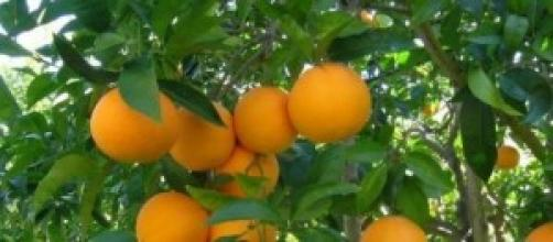 Produzione di arance siciliane