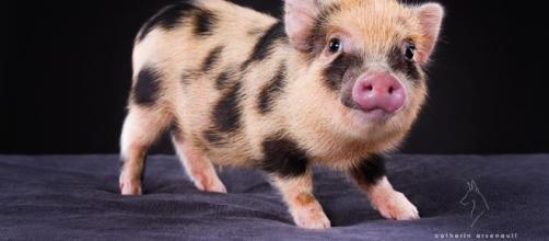 Du lard ou du cochon? Le gouvernement ne sait plus quoi se mettre sous la dent!