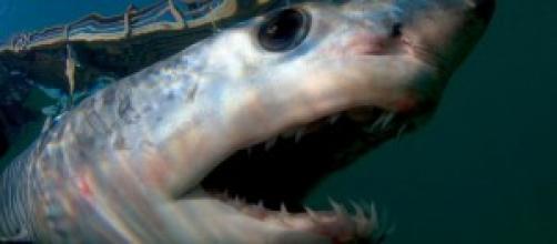 immagine ravvicinata dello squalo mako