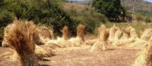 """Spighe di grano pronte per la """"pisera"""""""