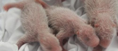 Los recién nacidos, los trillizos de osos panda