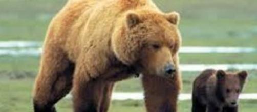 Orso aggredisce uomo in Trentino
