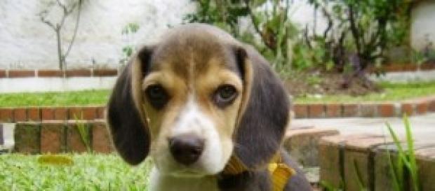 Cão da raça Beagle (Fonte: Wikimedia)