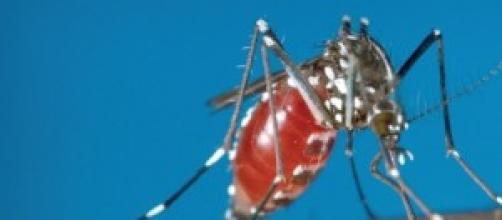 immagine ravvicinata della zanzara tigre