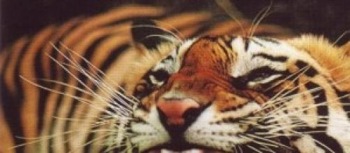 Tigre della Cina meridionale
