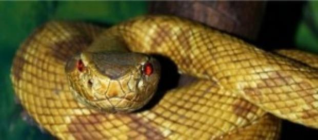 Il crotalo, uno dei serpenti più velenosi al mondo