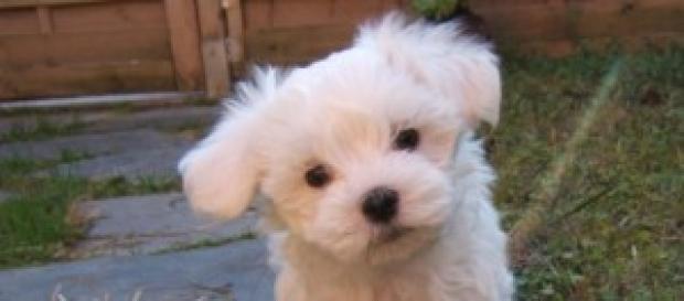 Cães precisam ser vacinados Fonte: Wikimedia