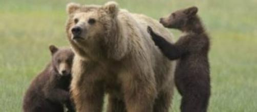 L'orsa con i cuccioli. Una tragica fine.