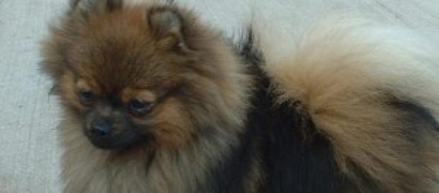 Un perro de raza pomeranian