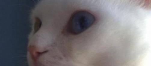 Fry, un gato albino de ojos bicolor.