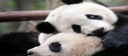 Esemplari di panda, tra le specie a rischio