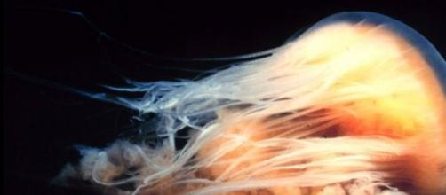 La impresionante medusa 'melena de león'